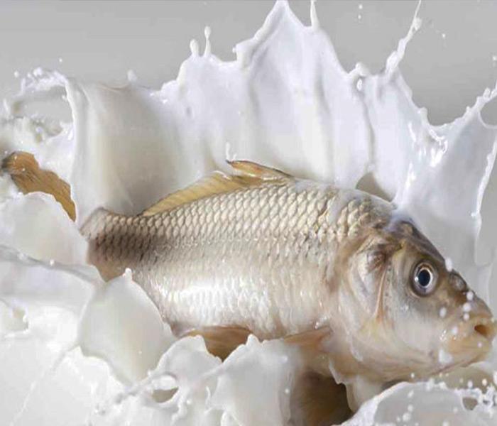 Ngâm cá vào sữa bò đem lại hương vị vô cùng hấp dẫn
