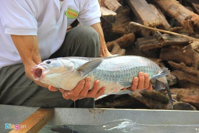 Cá trắm đen phải chọn con từ 3kg đến 5kg