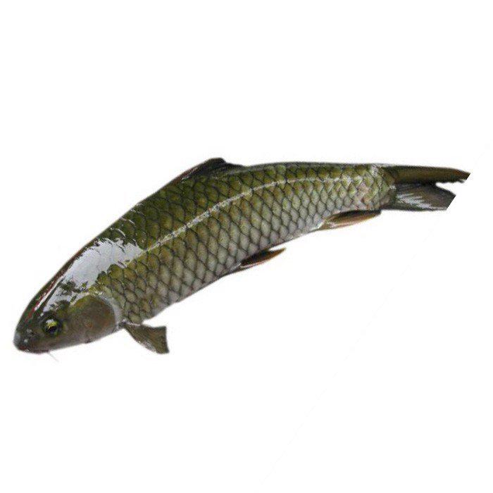 Cá trắm được chia thành nhiều loại như trắm đen, trắm cỏ