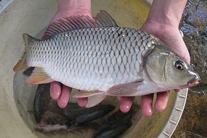 Cần lựa chọn con cá tươi ngon để thực hiện món kho thơm ngon, chất lượng