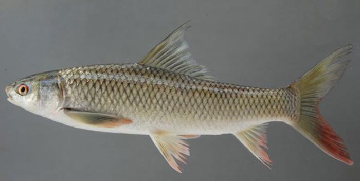 Cần khéo kéo khi chọn mua cá trôi để có nồi cá thơm ngon