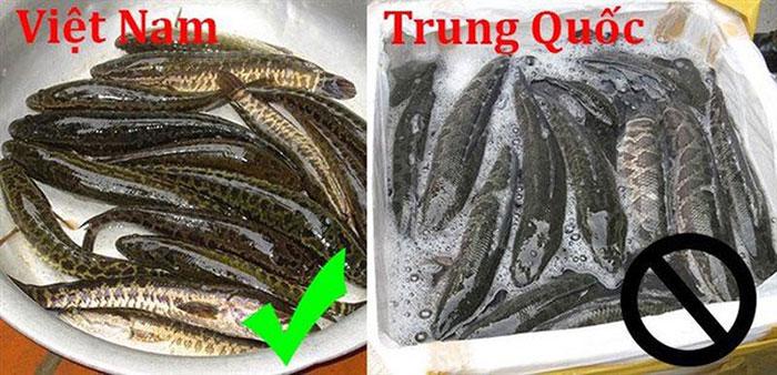 Cần phân biệt cá quả Việt Nam và cá quả Truong Quốc để chọn sản phẩm phù hợp